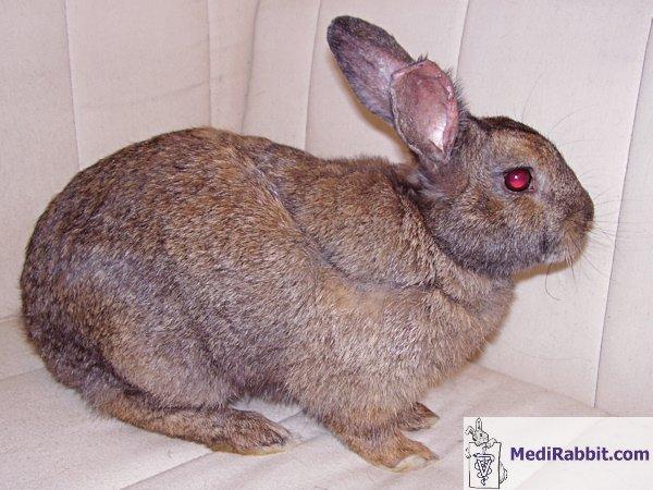 Common Rabbit Illnesses