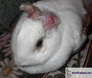 how to rabbits get ear mites