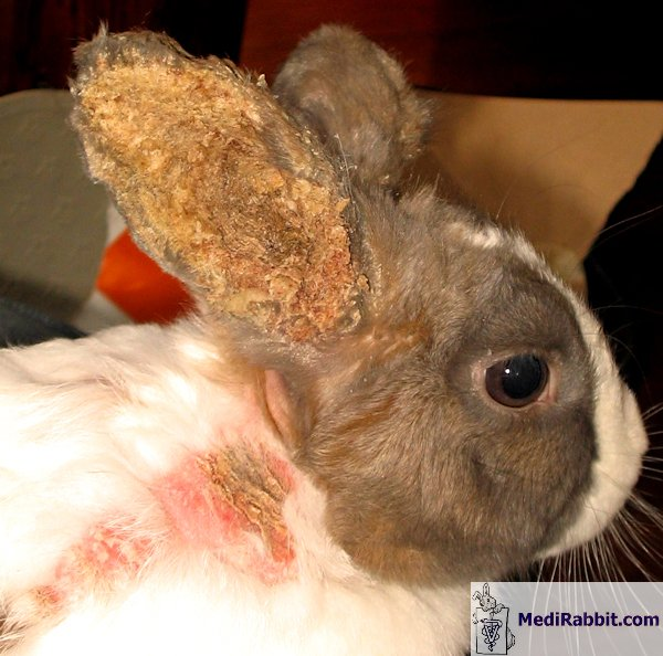 How to Treat Ear Mites in Rabbits {Naturally}